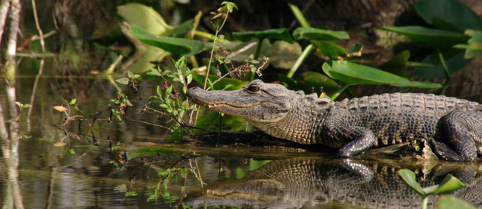Are you brave enough to take on this epic gator guide?
